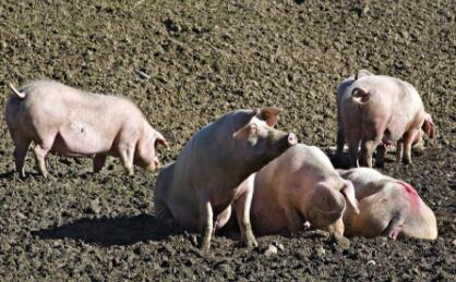 江西一学校内办起养猪场 五千师生整日闻恶臭