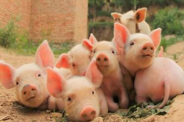 9月开门红 北方猪价全面上涨