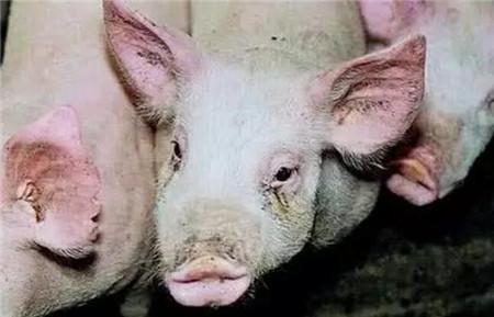 猪鼻子歪了,怎么办?