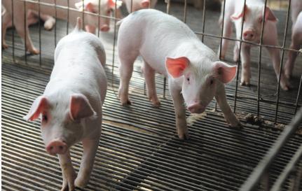 这个小乡村每年要给首都供应上万头生猪