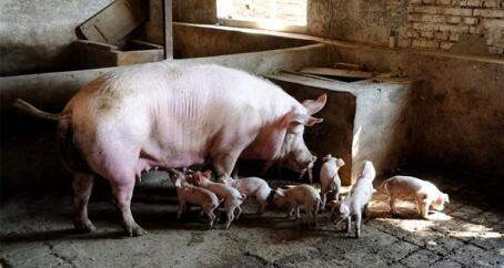 预计:9-10月猪价将出现一次连续性明显回调