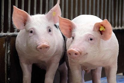 惊呆了!上半年拆迁淘汰母猪300万头?