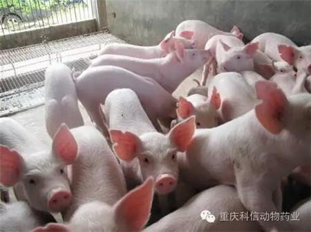 【分享】何种情况下给猪并圈,不用担心猪打架?