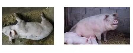 【分享】夏季哺乳母猪热应激预防