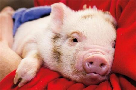猪发烧了,千万不要慌,对症治疗最可靠!