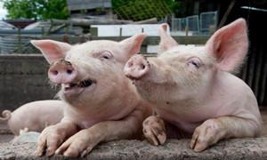 秋季母猪屡配不孕的原因