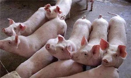 秋冬季节如何预防新购仔猪不生病?