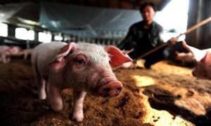 秋冬疾病高发期一起看一看猪病诊断的误区