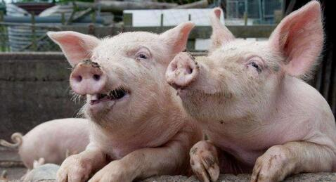 9月猪价有这些助涨利好,你可能不知道!