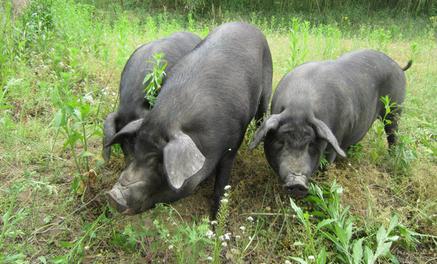 猪价上涨有望!但是养殖户却高兴不起来,这是为什么?