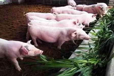 省钱又环保,牧草养猪没想到能省这么多!