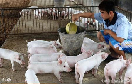 养猪中7个节省饲料的小妙招,你都知道吗?
