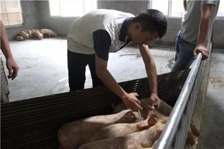 从散养到规模化,德阳通威首个1000头生猪代养项目顺利实施