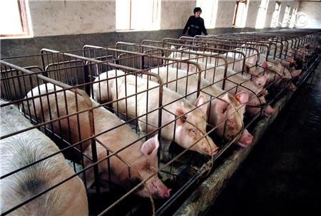 治疗猪病常见的错误,最后一个你肯定犯过!