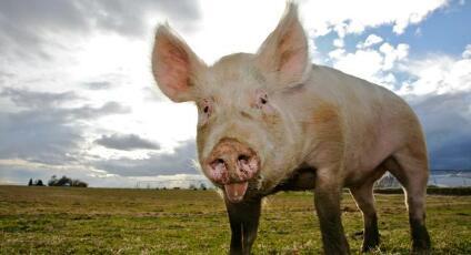 双节临近,屠企压价现象初现,9月猪价真的可期吗?