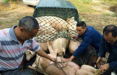 中下旬后受集中出栏影响 猪价或将面临调整风险