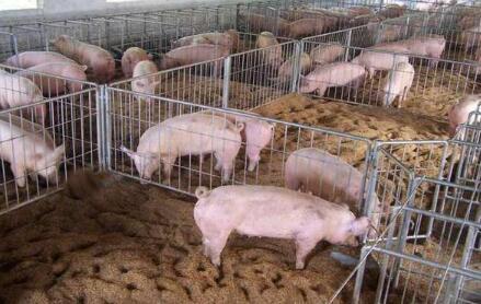 深思:面对生猪养殖业的困局 养殖户该怎样自救?