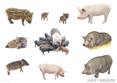 影响母猪产仔数的这8点,你都知道吗?