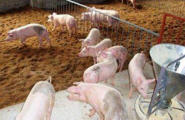 9月6日:猪价上涨并突破前期高点 北方局部回调