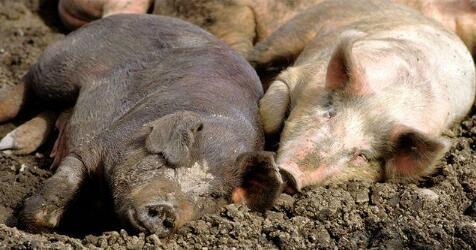 双节来临,猪价格继续上涨动力足,养户注意这个风险