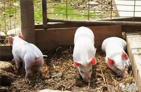 养猪生产中,光照对猪的影响竟然这么大!