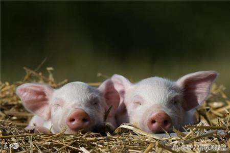 为预防猪出现中暑,猪场应做好哪些预防措施?
