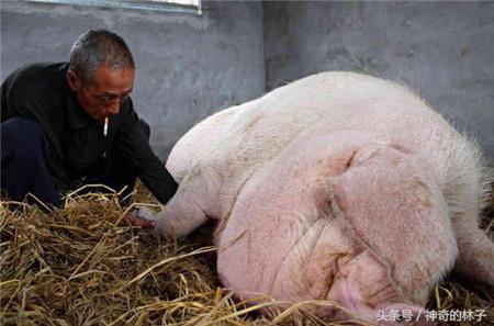 这就是老汉花了五年时间才养这么大的猪,这只猪的重量已经达到七百斤;整整五年时间