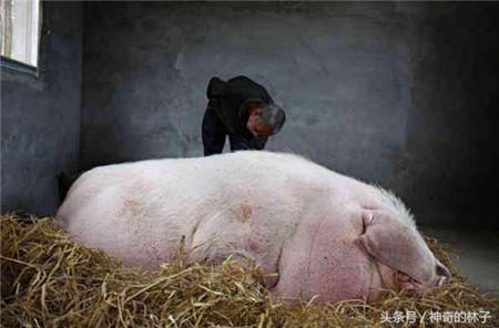 已经养了五年,真正到了分别的时候,老汉还是十分不舍;在猪圈看了几次,不断流泪