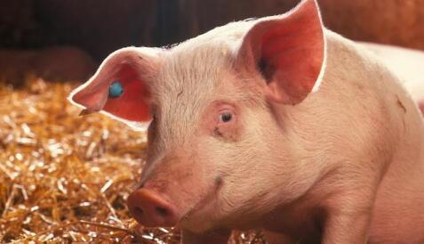 出事了,猪价最坏行情将在九月?