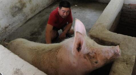 超重猪价逆转,猪源开始短缺!猪价将迎来新一轮上涨