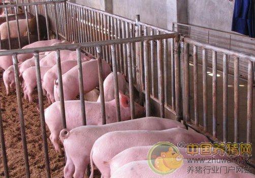 8 9月猪价阶段性反弹 专家称年内猪价大涨概率非常低
