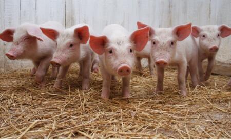 生猪出栏价连涨三个月,环保监察抬高了价格