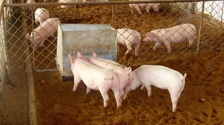 小猪场在痛哭,大养猪场送补贴,这样真的好吗?