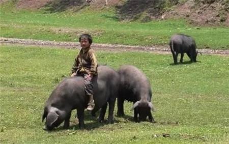 """可乐猪产自中国贵州省的威宁、赫章等地,由于品种珍贵,因此又叫""""乌金猪"""",具有悠久的养殖历史,由于其抗病能力强、适宜放养,因此大多数可乐猪属放养型猪种,真因为如此,可乐猪长有结实的体魄、发达的后腿,肉质优良,营养丰富,是腊肉、火腿的优质原材料。"""