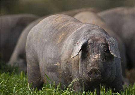 """伊比利亚黑猪生活在西班牙的丛林地带或者原始森林当中,是一种纯天然无公害的猪,饿了会吃橡果、渴了会喝山泉,,由于其以橡果为食,因此用其肉做成的火腿具有橡果的香气,其脂肪成分为单一不饱和脂肪酸,与橄榄油类似,因此被叫做""""行走的橄榄树"""",具有极高的营养价值。"""
