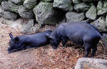 韩国有两个产猪的地区,一个是济州岛,一个是智异山,而这其中又以济州岛产的黑猪为好,由于是自由放养,因此是一种无公害的猪,是当地的一种特产,由于产量低,因此价格比较高,即便如此到济州岛旅游的人们还是争先恐后的去品尝这一猪肉。
