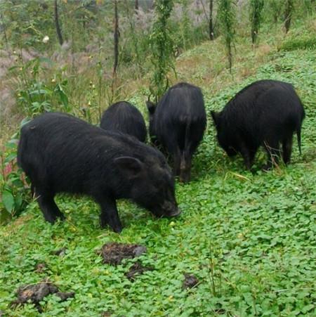 藏香猪是一种优质的地方猪种,在饲养的过程中能够有效的适应生长环境和饲养方式,具有悠久的饲养历史,由于属于放养猪型,加之以天然野生可食性植物及果实为食,因此藏香猪有着极高的营养价值,尤其猪皮更是有着极高的价值。