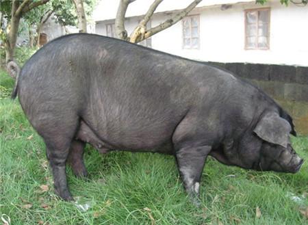 太湖猪产自我国江淮地区太湖流域,是世界上已知的产仔数最多的猪种,它们体型中等,有着宽大的耳朵,全身毛较稀疏,由于太湖猪出瘦肉率高,所以一直是江淮地区的优势猪种。