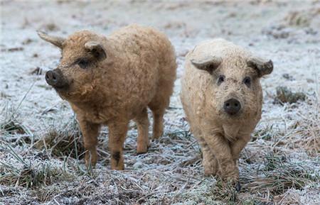绵羊猪原产于匈牙利和澳大利亚,是一种古老物种,它们长得像绵羊,全身覆盖着像羊毛一样的卷毛,它们的主要特点是全身瘦肉少,脂肪比一般的猪多一到两倍,烹调后入口即化,是做香肠、火腿的首选材料。