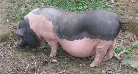 陆川猪是中国的八大名猪之一,有着悠久的历史,因产于广西东南部的陆川县而得名,陆川猪属于脂肪型种猪,含有中性脂肪和胆固醇,除此之外陆川猪的蛋白质含量极高,含有丰富的氨基酸,由于产仔率低,现在陆川猪的数量还不能满足市场的需求。