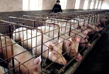 猪场管理中需要注意哪些?