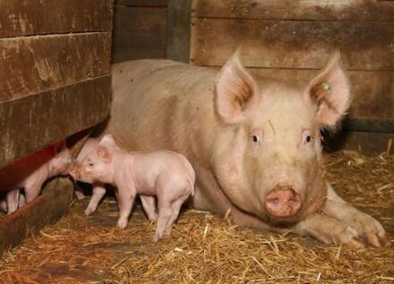 母猪配种这个活,不是人人都能干的,相当需要灵性