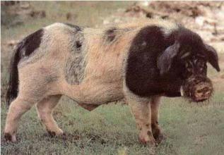 引种猪应引健康猪