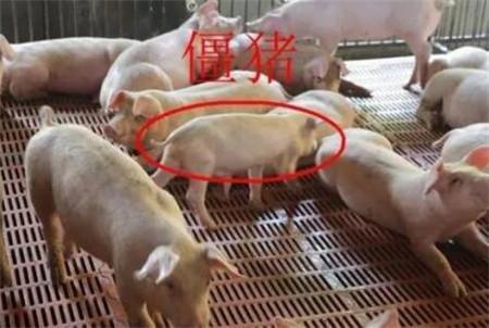 僵猪如何养?这四招快速给僵猪增肥