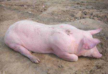 警惕!夏秋交替之际猪胀气高发,处理不好易致猪死亡