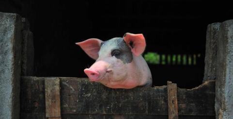 猪价在这个时候走低,总感觉不对劲!