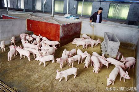 种田自己腿有问题,一家人老小吃饭都是问题,所以他觉得养猪是很好的路子。2014年,他与当地合作社合作,专业养殖合作社帮其协调贷款、扩大规模、进行饲料赊购、生猪保险、饲养管理技术服务。在一年时间里,他养了800多头猪,别的公司提供猪源、饲料,自己负责喂养,一头猪提100多元,在和当地公司的合作下,他的养殖事业越做越大。