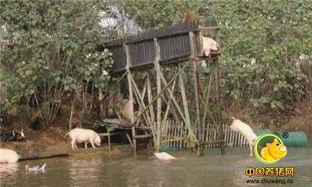 大爷养的猪会跳水,而且是从三四米的台上降落,这倒是一件新鲜的事。