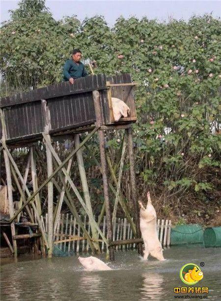 大爷说,让猪跳水,可以增加猪的免疫力,运动过后增进食量和生长速度,还可以提高猪的品质和口感。