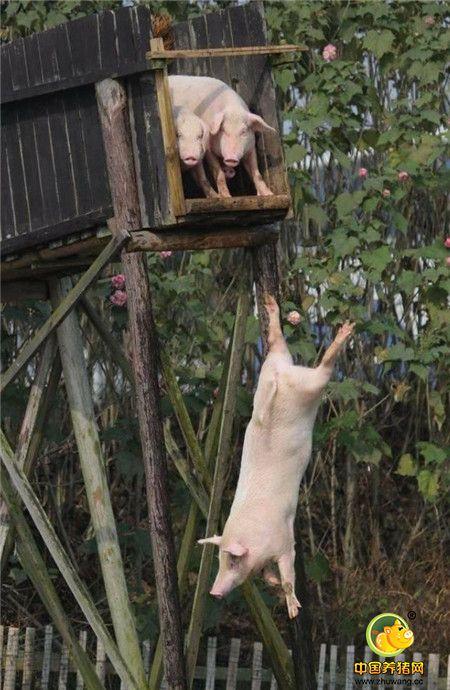 大爷还说,经过训练的猪,肉质鲜美,是普通猪价格的好几倍。